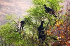Climbing goats Stock Photography