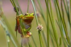 Climbing Green European tree frog Stock Photography