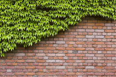 Climbing green ivy on an a wall Royalty Free Stock Photo