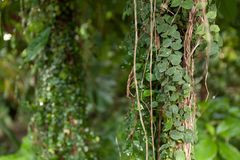 Climbing green tropical plant. Exotic beautiful plants. royalty free stock photo