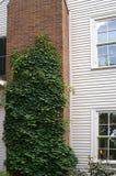 Climbing Hydrangea Plant stock images