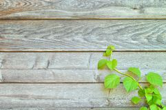 Climbing hydrangea on a rustic wooden wall. With copy space. Botany background stock images