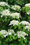 Climbing hydrangea on the tree Royalty Free Stock Photography