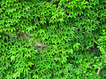 Climbing ivy. Natural green wall made of ivy is good for thermal insulation Royalty Free Stock Photography