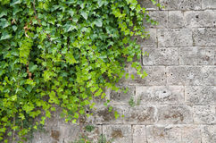 Climbing ivy. Stock Photos
