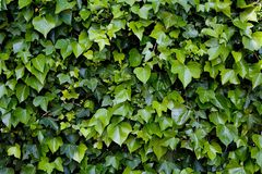 Climbing ivy. Green climbing ivy over wall Royalty Free Stock Photos
