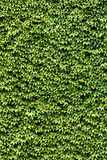 Climbing ivy Stock Photos