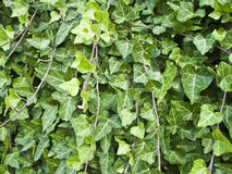 Climbing ivy background Royalty Free Stock Image
