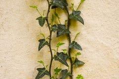 Climbing ivy on the grunge wall. Climbing green ivy on the grunge white wall at spring time stock photography