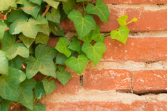 Climbing ivy leaves on an old red bricks wall Stock Photos