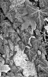 Climbing Ivy monochrome. A black and white shot of many  ivy vines climbing up the trunk of a tree. Showing lots of texture and details Stock Photos