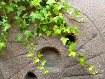 Climbing ivy near the stone Royalty Free Stock Photo