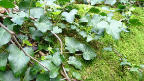 Climbing ivy Stock Images