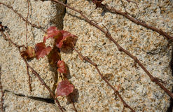 Climbing ivy on the stone wall. Royalty Free Stock Photos