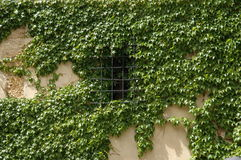 Climbing Ivy on the wall Stock Photos