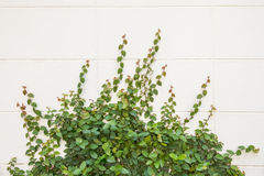 Climbing ivy Stock Photography