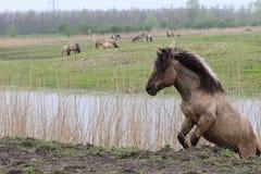 Climbing konik horse Stock Photos