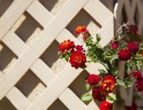 Climbing lantana against garden trellis in spring Royalty Free Stock Image