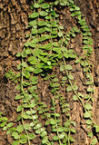Climbing leaves Royalty Free Stock Photos