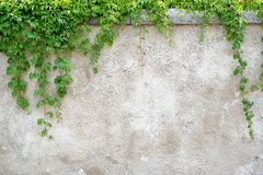 Climbing leaves on grey wall background. Brick wall, nature frame Royalty Free Stock Photo