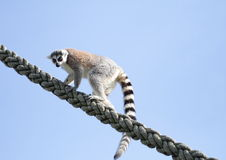 Climbing Lemur. Young Lemur climbing up a thick rope against a blue sky looking downwards Royalty Free Stock Photo