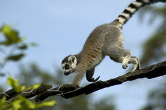 Climbing Lemur Catta Stock Photography