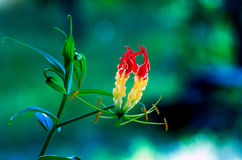 Climbing Lily Royalty Free Stock Image