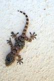 Climbing little lizard Stock Image