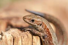 Climbing Lizard Stock Images