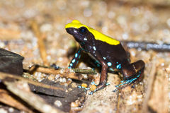 The Climbing Mantella Royalty Free Stock Photo