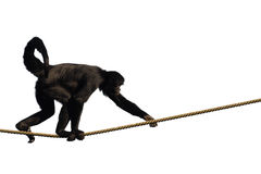 Climbing Monkey. Colombian Spider Monkey, climbing on a rope, isolated on white Royalty Free Stock Photography