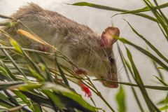 Climbing mouse Stock Photography