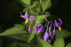 Climbing nightshade. Or Solanum dulcamara stock photography