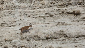 Climbing Nubian Ibex Capra Ibex Nubiana in Ein Gedi nature reserve, Israel Stock Image