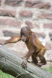 Climbing Orangutan. This image of a young Orangutan learning to climb was captured at Chester Zoo, England, UK Royalty Free Stock Images