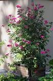 Climbing pelargonium plants Stock Images