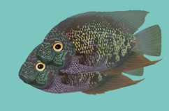 Climbing perch fish. On blue background Royalty Free Stock Photography