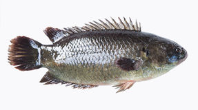 Climbing perch fish Stock Photo