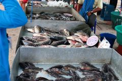Climbing perch in fish shop Stock Photos