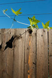 Climbing plant. Is overcoming the wood fence Stock Photography