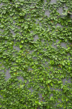 Climbing plant Royalty Free Stock Images