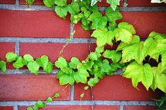 Climbing plant over red brick wall. Climbing ivy plant over red clay brick wall Stock Image