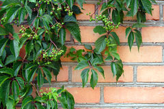 Climbing plant against the brick wall royalty free stock photography