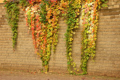 Climbing plant  in autumn on the stone wall. Climbing plant with red leaves in autumn on the stone wall Royalty Free Stock Photos