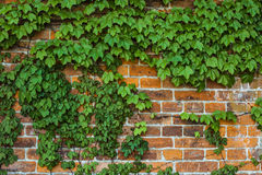 Climbing plant on a brick wall. Background stock photography