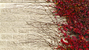 Climbing plant on brick wall. Background Royalty Free Stock Photography