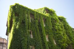 The climbing plant on a building. In Rome, Italy stock images