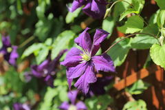 The climbing plant  Clematis Stock Image