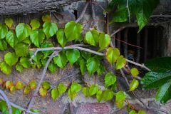 Climbing plant. Plant that climbs on walls Stock Photography