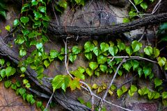 Climbing plant. Plant that climbs on walls Stock Photo